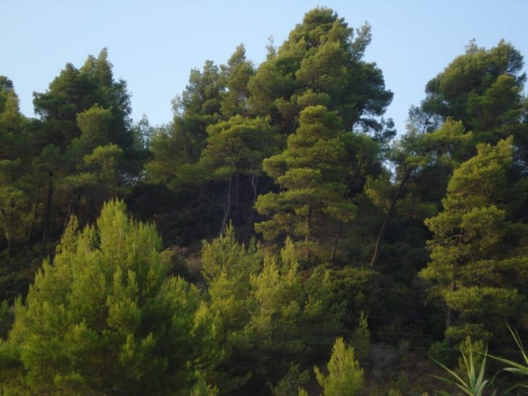 Pine forest in Kriopigi