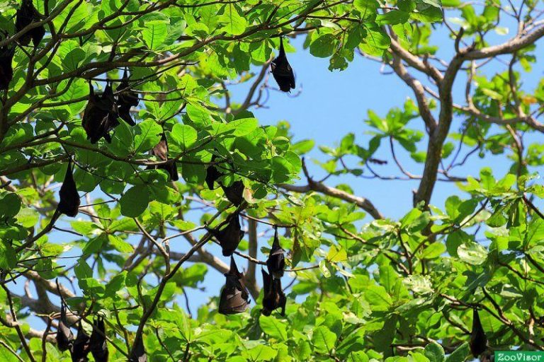 Flying foxes in thailand