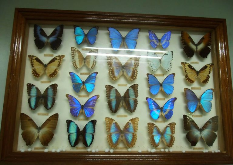 Butterflies at the Entomological Museum