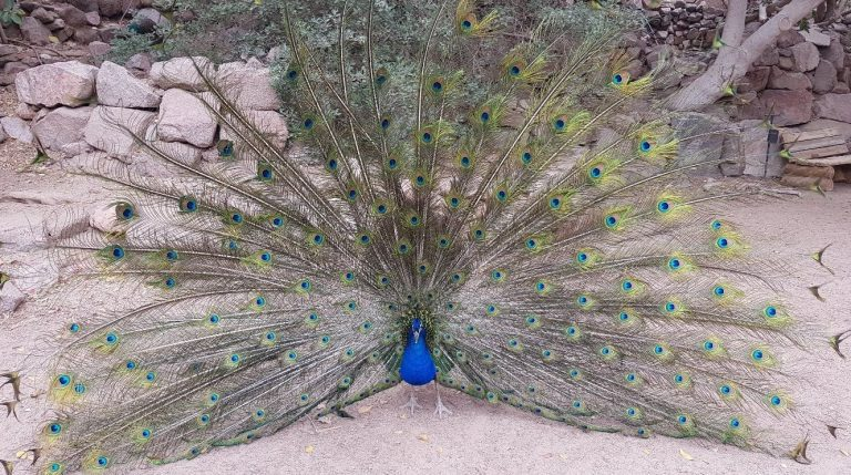 Peacocks walk freely on the territory