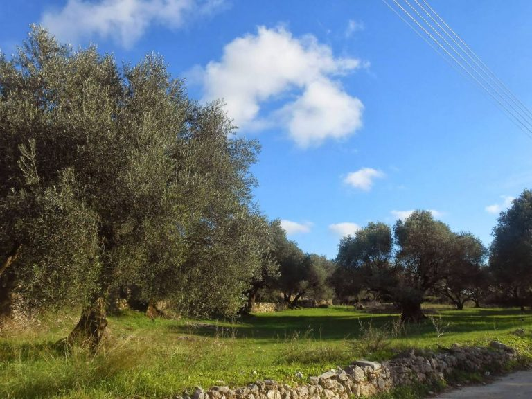 Groves of olive trees