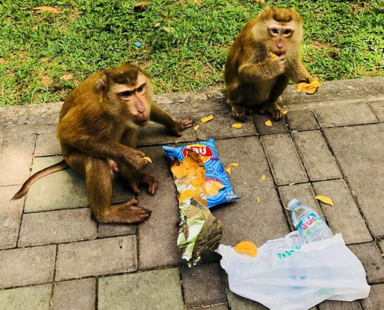 Monkeys pulled a pack