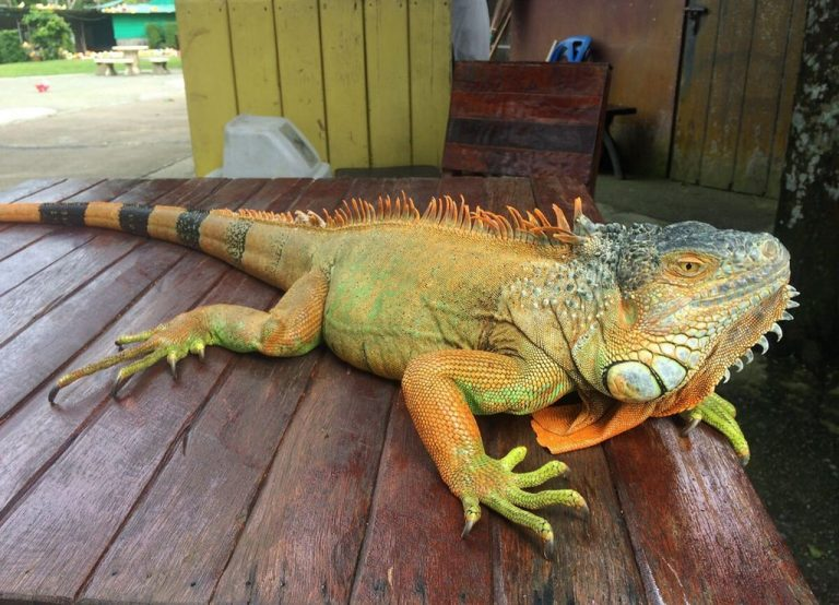 There is an iguana in Paradise Park