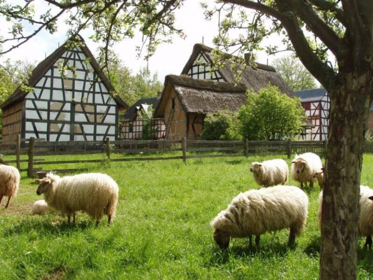 Sheep in Trier