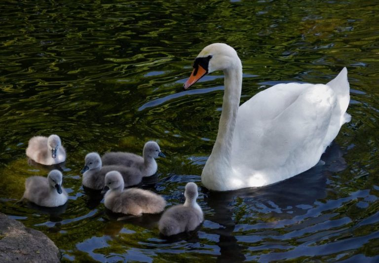 Swans in the pond