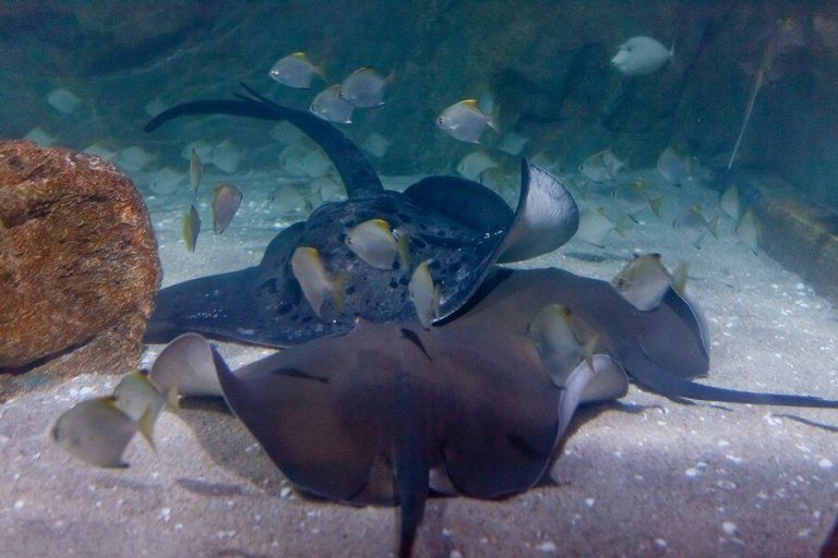 Here you will see brackish fish or stingrays.