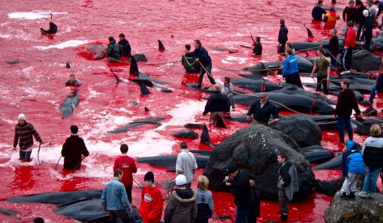 The annual massacre of dolphins
