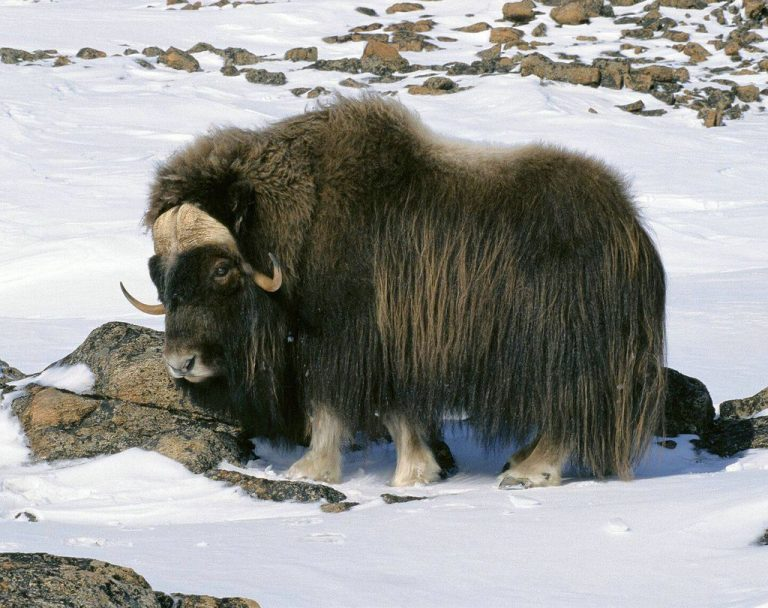 Musk ox in Tromso Zoo