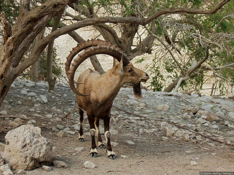 Nubian Mountain Goat