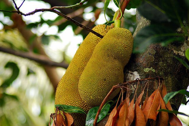 So grows jackfruit