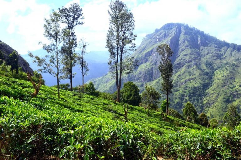 View of tea plantations and mountains