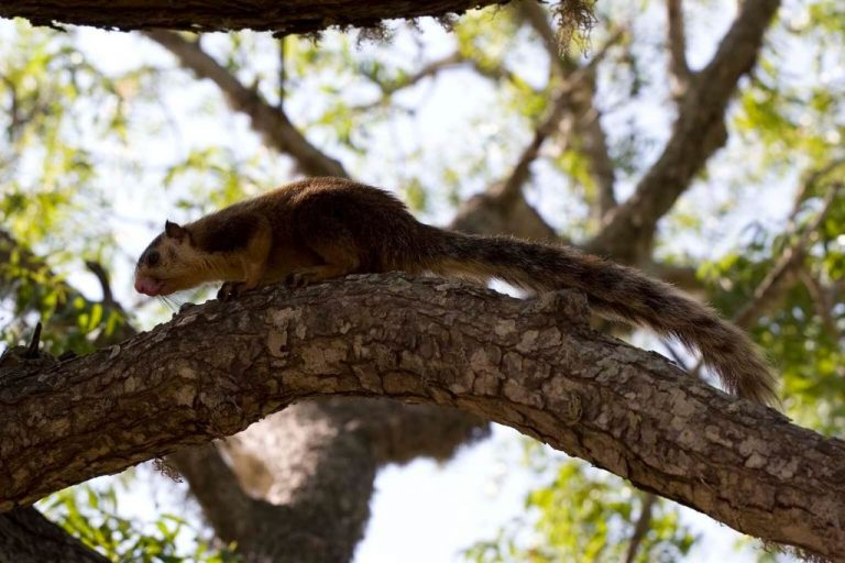 Squirrel in the Sinharaja Forest